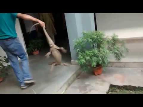 Indian monitor lizard in WII corridors.