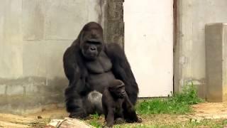 シャバーニのイクメンな日々father Gorilla Playing With Children Gorilla