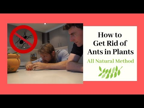 Ants in Potted Plants - How to Get Rid of Ants in Plants (All Natural Method)