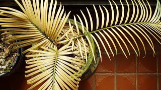 SAVING CYCAS PALM! Yellow leaves and 0% growth for 3 YEARS - what's wrong?