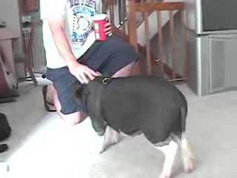 Pot Belly Pig Tricks
