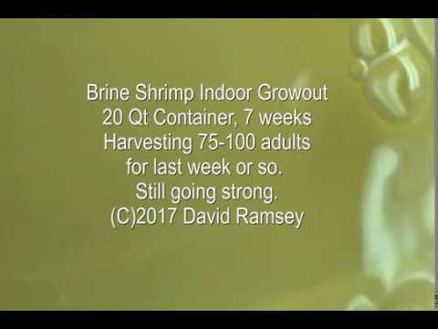 Brine Shrimp Indoor Growout Today