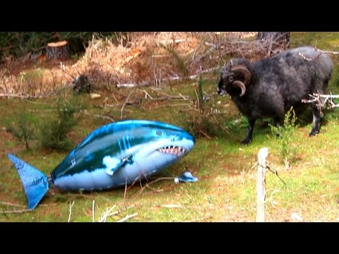 Angry Ram VS Shark