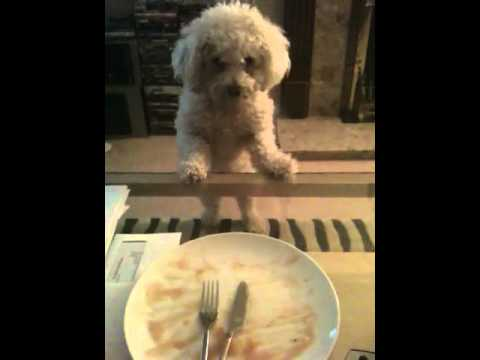Bichon Frise Funny Lick