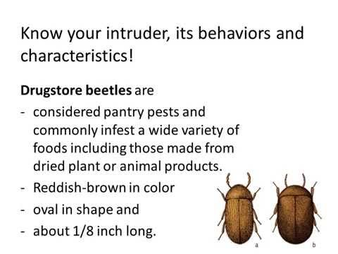 Fly Control, How to Get Rid of Drugstore Beetles