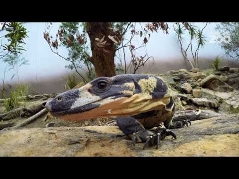 Zoo Tales - Large and beautiful lace monitors