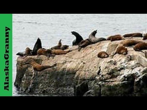 Sea Lions Seward Alaska Kenai Fjords National Park Cruise