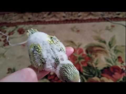 Baby Budgie perching on my finger