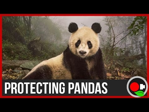Why protect Pandas?