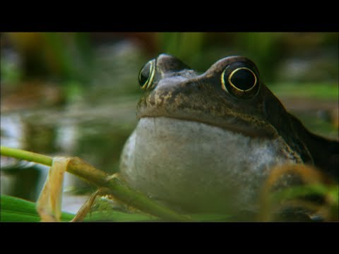 Frog mating season on the Shannon | Ireland's Wild River | Nature on PBS