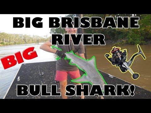 Big Brisbane river Bull shark (Caught on 15lb!)