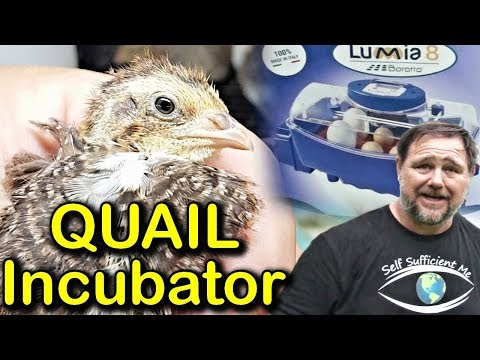 New Quail Incubator & Collecting Eggs | Borotto Lumia 8