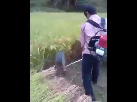 cutting the rice crops