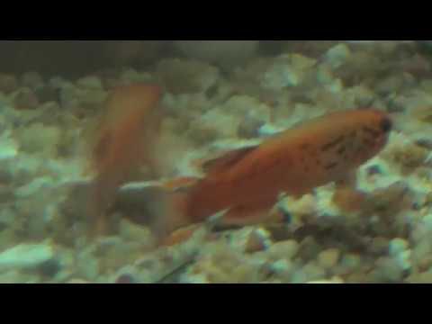 Aphyosemion Australe and Adult Brine Shrimp
