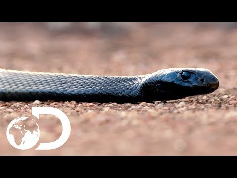 The Most Venomous Snakes in the World | Modern Dinosaurs