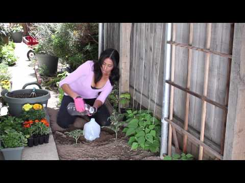 How to Water Your Garden With Milk Jugs : The Chef's Garden