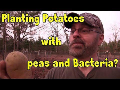 Planting potatoes with peas and Rhizobium bacteria?