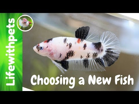 How to Choose a Betta Fish and Add It To The Tank (episode 5)