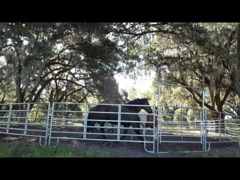 Breaking buddy sour horses