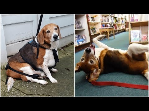 Dogs can be overweight too   Watch this beagle dog who is overweight and face a lot of serious healt