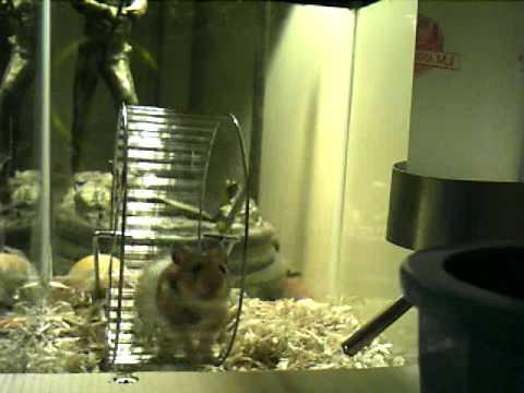 Pet Syrian Hamster running on wheel