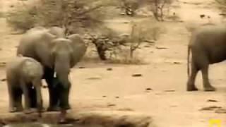 A newborn elephant meets the water