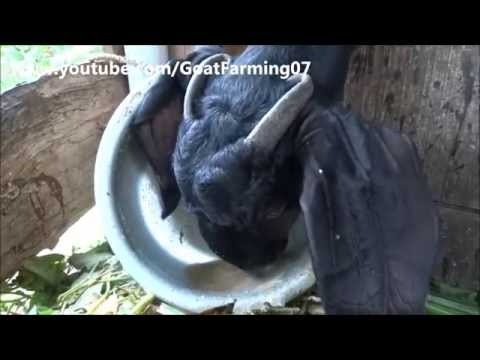 How to give drinking water to goat