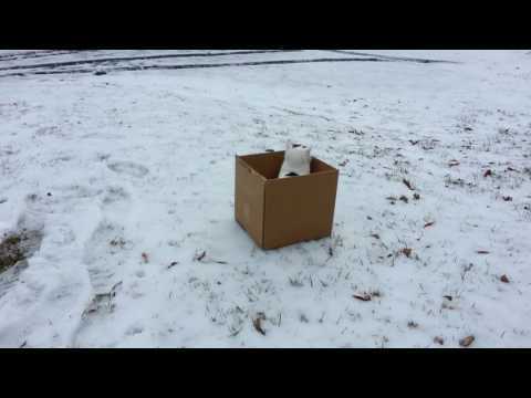 Fearless Cat Plunges Down Snowy Hill in Cardboard Box