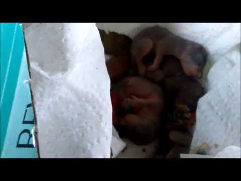 Wildlife Rehabilitation: How to get Orphaned Red Squirrel Babies to Rehabilitation