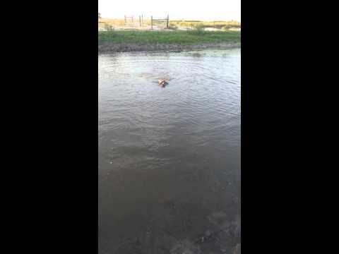 Blakely (Springer Spaniel) Water Retrieve Dove