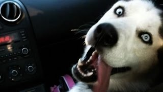 Funny Husky PUPPIES Talking & Playing [Funny Pets]