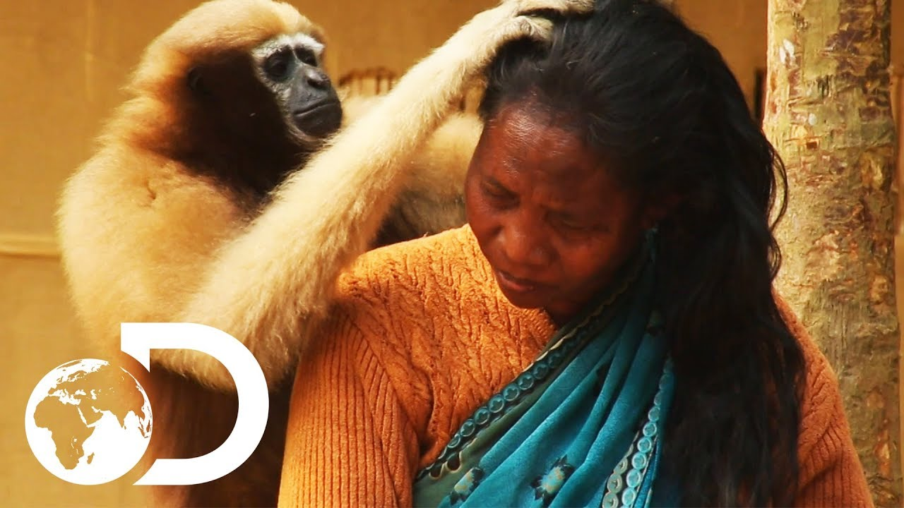 Adorable Ape Shares A Fascinating Relationship With Humans    Wild India