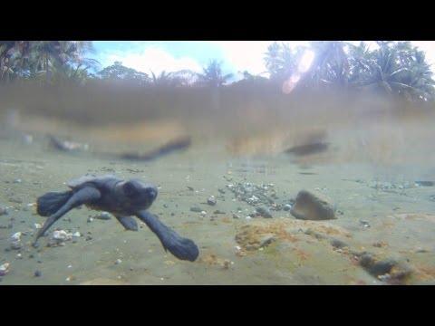 Helping baby sea turtles into the ocean