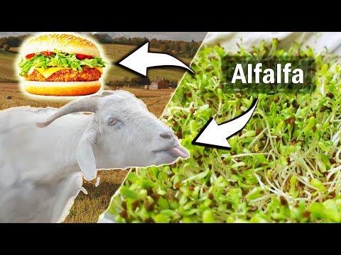 Growing Alfalfa Plant Sampling from Seeds