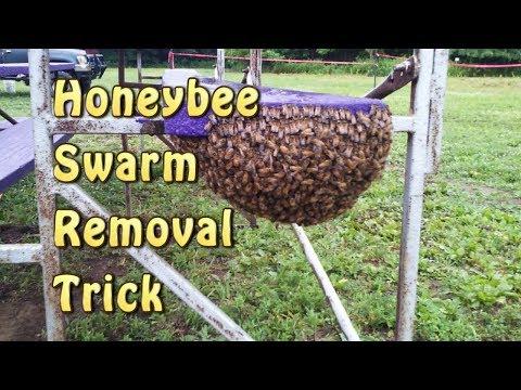 Honeybee Swarm Removal Trick/ Leave No Bees Behind