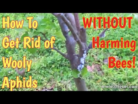 Bee Safe Method to Manage Woolly Aphids in Fruit Trees