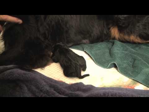 Hannah the Bernese Mountain Dog - Puppy Birth - Part I
