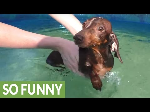Dachshund learns to swim in adorable fashion