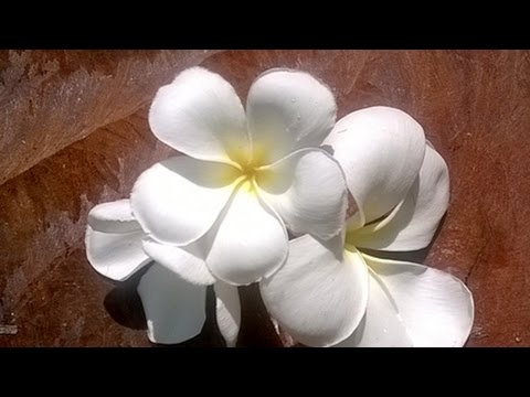 How to make Plumeria/ Frangipani gum paste blossoms