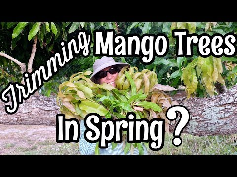 Trimming Mango Trees in Spring?