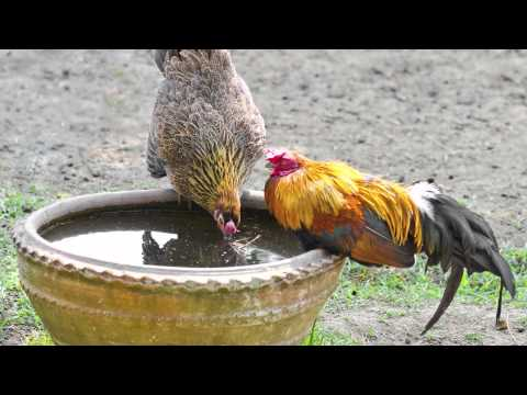 What Basic Care Do Chickens Need? - Chickens in A Minute
