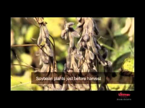 Video: The Soy Process. From plantation, to soymilk.