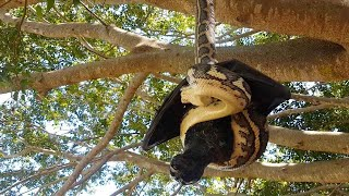 Giant Bat And Python Caught In Battle