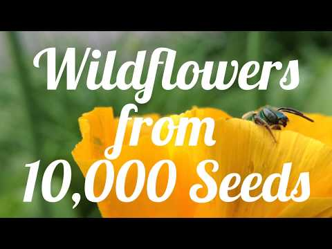 Wildflowers from 10,000 Seeds