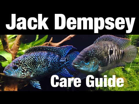 Jack Dempsey Cichlid Care, Tank Mates, Full Grown