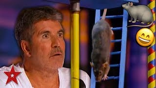 Download SMARTEST RAT In The World Surprises Everyone On America's Got Talent 2019! | Got Talent Global Video