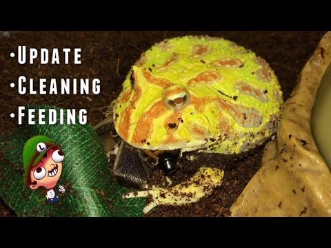 Pacman Frog UPDATE ~ Cleaning and Feeding !!!
