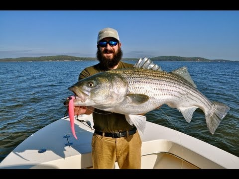 Big Chesapeake Bay Stripers: Using Soft Baits In The Shallows