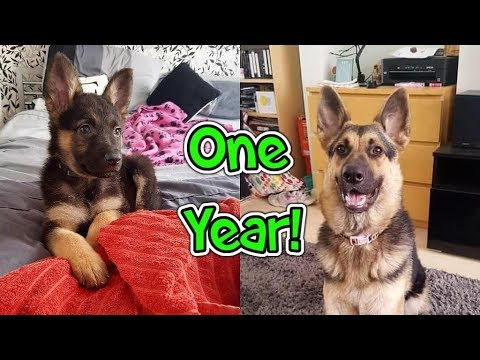 GSD Growing Up Puppy To Adult One Year!
