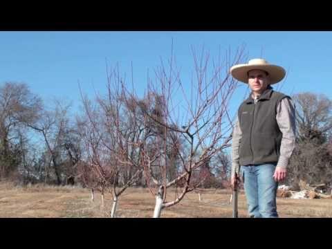 Peach Tree Pruning.mov